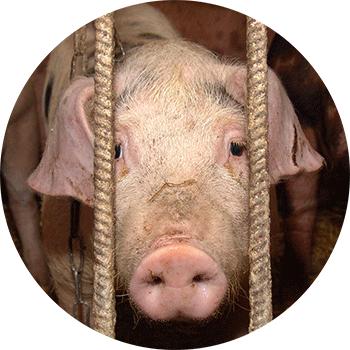 畜産の現状、豚
