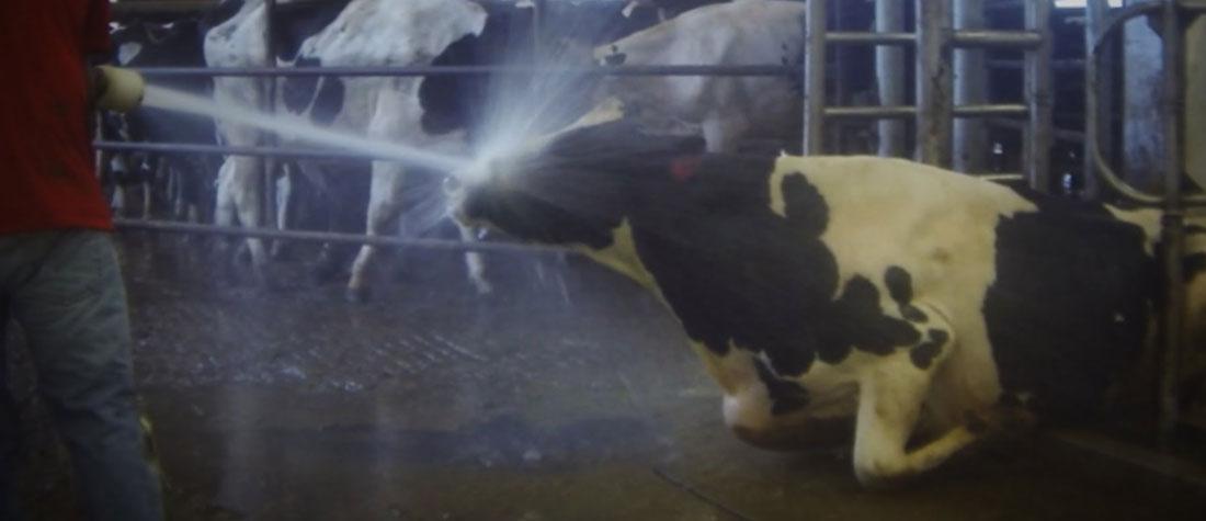 畜産動物は虐待をうける事があります