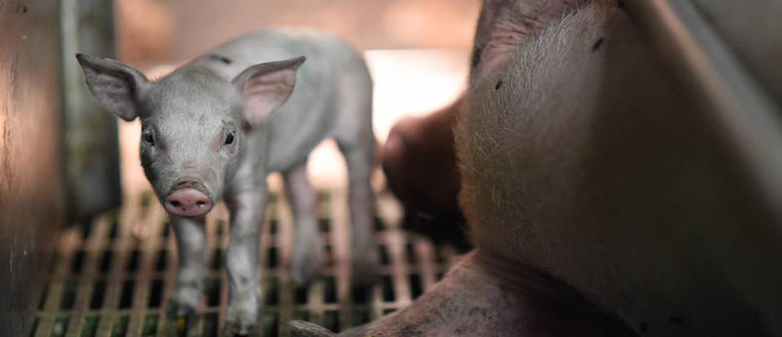 畜産動物の殺処分、子豚
